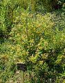 Corokia buddleioides - Savill Garden - Windsor Great Park, England - DSC05998.jpg