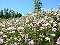 Coronilla varia - crownvetch - Flickr - Matt Lavin (6).jpg