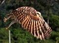 Coruja Buraqueira alçando voo.jpg