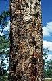 Corymbia latifolia bark.jpg