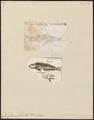 Coryphaena fasciolata - 1700-1880 - Print - Iconographia Zoologica - Special Collections University of Amsterdam - UBA01 IZ13500318.tif
