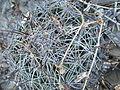 Coryphantha cornifera (5780018309).jpg
