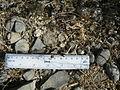 Coryphantha delicata (5686075719).jpg