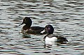 Cosmeston Lakes -Tufted duck on west lake - geograph.org.uk - 1219339.jpg