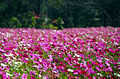 Cosmos flowers in Thailand 07.jpg