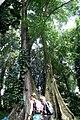 Couple Tree at Bogor Botanical Garden.jpg