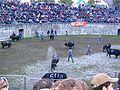 Cowfight2.jpg