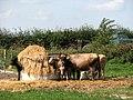 Cows and calves at feeder - geograph.org.uk - 553694.jpg
