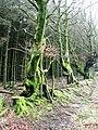 Craig y Glyn forest - geograph.org.uk - 653083.jpg