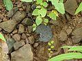 Craterellus cornucopioides (3892623405).jpg