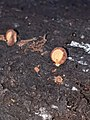 Crepidotus crocophyllus 58074960.jpg
