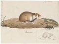 Cricetus frumentarius - 1700-1880 - Print - Iconographia Zoologica - Special Collections University of Amsterdam - UBA01 IZ20500033.tif