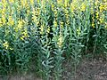 Crotalaria juncea D9991.jpg