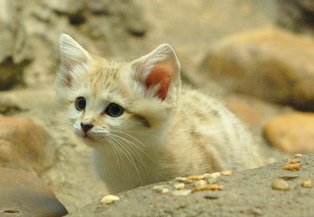 """Curious Sand Kitten"" by Charles Barilleaux from Cincinnati, Ohio, United States of America - Curious Sand Kitten. Licensed under CC BY 2.0 via Wikimedia Commons - https://commons.wikimedia.org/wiki/File:Curious_Sand_Kitten.jpg#/media/File:Curious_Sand_Kitten.jpg"