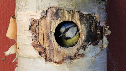 Cyanistes caeruleus taking a peek through nest entrance hole.jpg