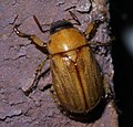 Cyclocephala P1440224a.jpg