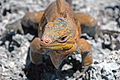 Cyclura rileyi rileyi (San Salvador rock iguana) (Green Cay, offshore from northwestern San Salvador Island, Bahamas) 9 (16014994036).jpg