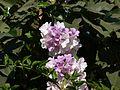 Cydista aequinoctialis (2139892223).jpg