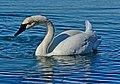 Cygnus buccinator swimming Toronto.jpg