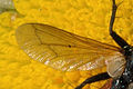 Cylindromyia.auriceps.wing.detail.jpg