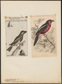Cymbirhynchus macrorhynchus - 1700-1880 - Print - Iconographia Zoologica - Special Collections University of Amsterdam - UBA01 IZ16700293.tif