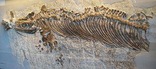 <i>Cymbospondylus</i> genus of reptiles (fossil)