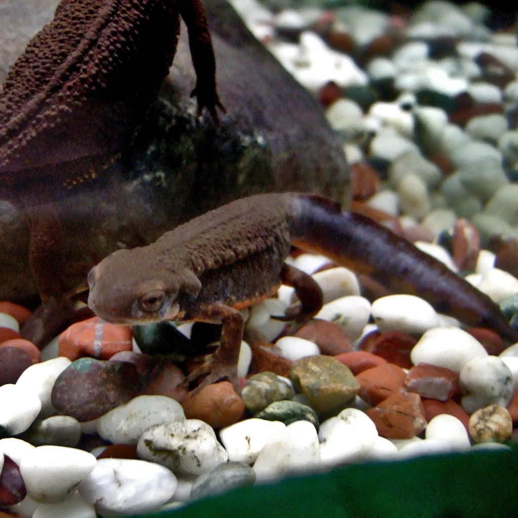Cynops Pyrrhogaster (Japanese Fire-bellied Newt