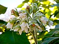 Cyphomandra betacea 171015 02.jpg