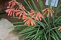 Cyrtanthus parviflorus01.jpg