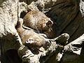 Dègue du Chili Argelès-Gazost parc animalier (3).JPG