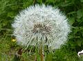 Dandelion seeds J2.jpg