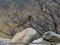 Dark-throated Thrush (Turdus ruficollis) (32369508404).jpg