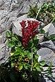 Dark stonecrop (Gru) (31587655420).jpg