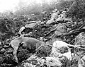 Dead horses, victims of the rush to cross White Pass, Alaska-British Columbia, during the summer of 1897 (CURTIS 2).jpeg