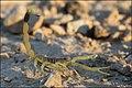 Deathstalker (Leiurus quinquestriatus) 4.jpg
