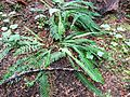Deer fern - Flickr - brewbooks.jpg
