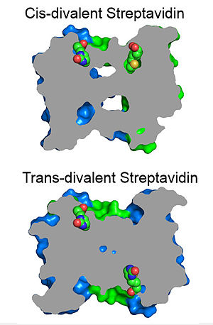 Streptavidin - Slice through protein comparing biotin orientation in cis-divalent and trans-divalent streptavidin