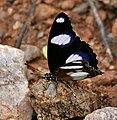 Denaid Eggfly (Hypolimnas misippus) in Hyderabad, AP W IMG 9307.jpg
