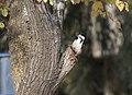 Dendrocopos syriacus - Syrian Woodpecker, Adana 2017-12-10 03-3.jpg