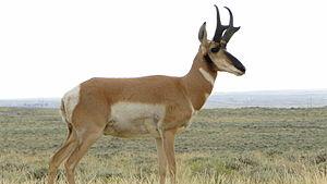 English: Pronghorn. Red Desert (Wyoming)