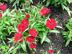 Sommarnejlika (Dianthus chinensis)