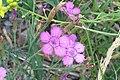 Dianthus deltoides - Canillo, Andorra.JPG