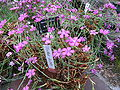 Dianthus glacialis1.jpg