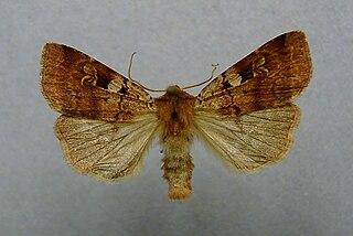 Ingrailed clay Species of moth