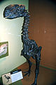 Diatryma fossil bird (Eocene, Wyoming) 1.jpg