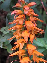 Digitalis (Isoplexis) canariensis by Scott zona - 004