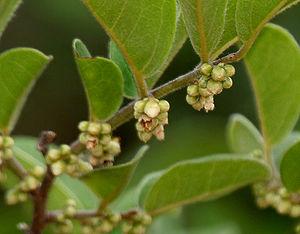 Ebenaceae - Diospyros chloroxylon