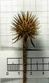 Dipsacus pilosus inflorescence (42).png