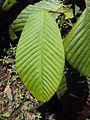 Dipterocarpus bourdillonii 04.JPG