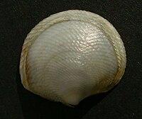 Divaricella huttoniana